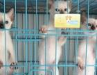 六只**泰国暹罗猫,可单可打包