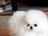 治愈系贴心萌宠哈多利球体博美犬 实物拍摄可看视频