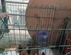 11个月的小鹿犬1500元(公母均有)
