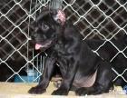 正规犬场出售卡斯罗幼犬签协议 大头版 有血统带芯片