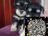 纯种雪纳瑞幼犬宝宝-低价热销-健康质保
