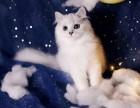 美國CFA認證貓舍 金吉拉 優惠送不停