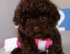 精品泰迪狗狗出售 茶杯超小体白色红棕灰色泰迪熊