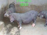太湖母猪多少钱一头 哪里有太湖母猪出售