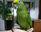 长期出售灰鹦鹉,金刚,葵花,亚马逊,各种大型鹦鹉