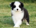 正规犬舍出售精品边牧幼犬包健康签协议送用品