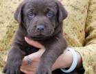 正规狗场繁殖拉布拉多 绝对纯种 签订协议 终身可保健
