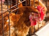 唐山海兰褐青年鸡养殖基地2021年海兰褐青年鸡批发商