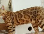 纯种F4 进口孟加拉豹猫15000元