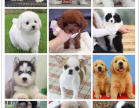 出售自家繁殖的各种宠物幼犬 价格好商量,**健康