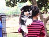 狗市可以买到纯种阿拉斯加吗 多少钱一只