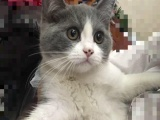 英国短毛猫 蓝加白妹妹