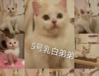 英短蓝白高白苏格兰立耳猫宠物猫