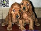 临夏哪里有卖可卡犬 临夏可卡犬多少钱 临夏可卡犬图片