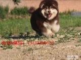 南京哪里有巨型阿拉斯加犬 南京红色阿拉斯加怎么卖