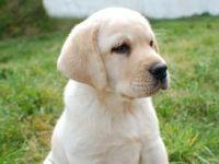 本场出售纯种拉布拉多犬 质量好 血统保证