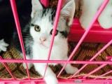 CFA猫舍家庭繁殖纯种健康