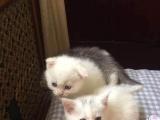 白色小英短价格可议家中猫太多了只求一个好心人对她