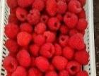 草莓红莓果苗批发红莓果酒批发大量出售草莓红莓果苗批发红莓果酒