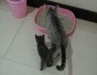 纯种英短蓝猫