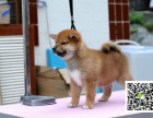 高品质柴犬 专业基地 健康签协议 可送货上门
