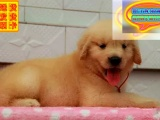 哪里有金毛犬犬出售 金毛犬多少钱一只 在哪里