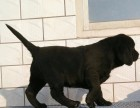 成都纯种拉布拉多最便宜卖多少钱 成都正规狗场拉布拉多价钱