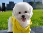 引进大眼睛甜美脸型比熊幼犬保纯种健康质保终身