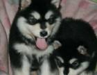 上海巨熊熊版阿拉斯加犬 黑色红色灰色 质高价优