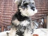 扬州哪有雪纳瑞犬卖 扬州雪纳瑞犬价格 扬州雪纳瑞犬多少钱