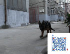 上海哪里有黑背 黑背一般多少钱