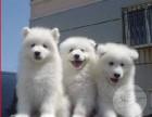 名流爱宠专业繁殖出售精品纯种健康微笑天使萨摩耶幼犬
