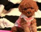 精品小玩具泰迪,毛量大,娃娃脸,颜色深红品相**
