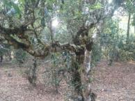 五一周边游 澜沧景迈翁基布朗山古茶树下