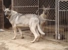 本场出售纯种狼青犬 狼青幼犬 质量好 包健康 血统保证