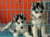 出售活体纯种 哈士奇犬幼犬 二哈三把火蓝眼西伯利亚雪橇犬狗狗