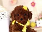 纯种泰迪犬幼犬长不大茶杯型袖珍犬迷你贵宾幼犬