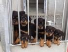 西安精品宠物繁殖基地长期出售罗威那幼犬 保证品质健康