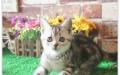 宠物幼猫 活体纯种英国短毛猫英短蓝猫活体宠物猫家养