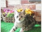 猫舍出售美国短毛猫美短加白宠物猫银虎斑起司猫活体幼