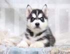 自家大狗生了一窝哈士奇可以上门看狗父母