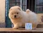 胖乎乎金色松狮 健康保障 可协议 可上门看狗狗
