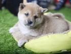 潍坊柴犬怎么卖的 潍坊日系柴犬多少钱 潍坊柴犬的价格