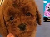 纯种小泰迪熊幼犬玩具泰迪犬可爱漂亮健康