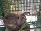 良和养殖场常年出售公羊兔,竹鼠,海狸鼠