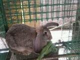 良和养殖场常年出售《公羊兔,竹鼠,海狸鼠》