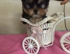 金顶银背约克夏 梗犬茶杯系约克夏幼犬出售