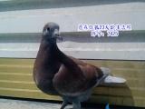 出售几只精品中远程信鸽