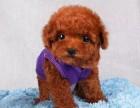 精品宠物繁殖基地长期出售泰迪幼犬 保证品质健康