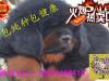藏獒幼犬,藏獒多少钱